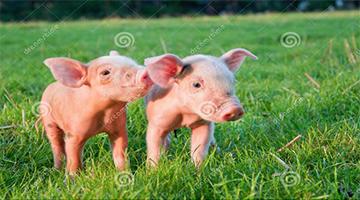 能查询猪价的软件有哪些